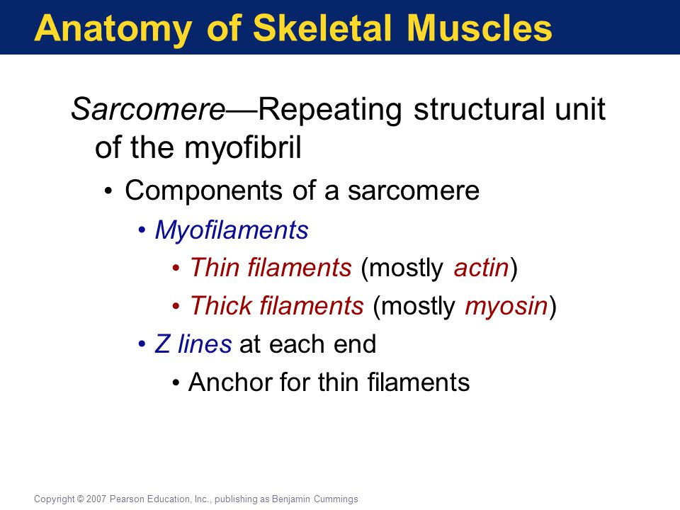 Anatomy of Skeletal Muscles Sarcomere—Repeating structural unit of the myofibril Components of a sarcomere Myofilaments Thin filaments (mostly actin)