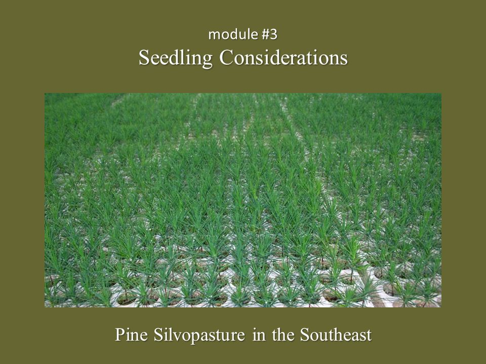 module #3 Seedling Considerations Pine Silvopasture in the Southeast