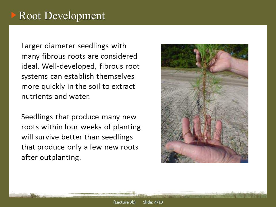 Root Development {Lecture 3b} Slide: 4/13 Larger diameter seedlings with many fibrous roots are considered ideal.