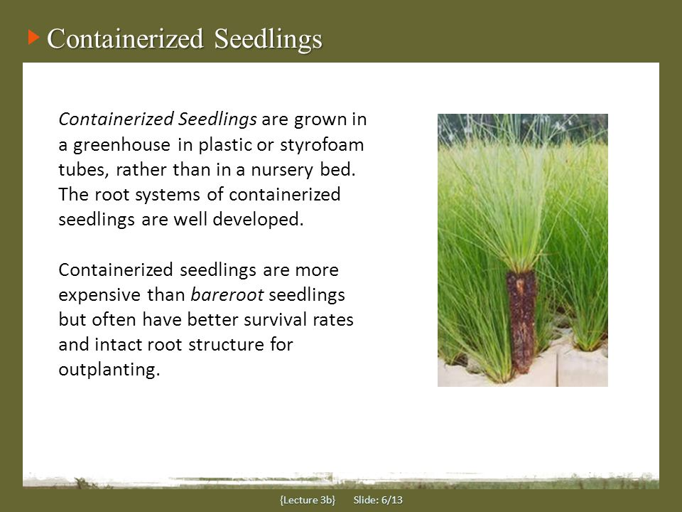 Containerized Seedlings {Lecture 3b} Slide: 6/13 Containerized Seedlings are grown in a greenhouse in plastic or styrofoam tubes, rather than in a nursery bed.