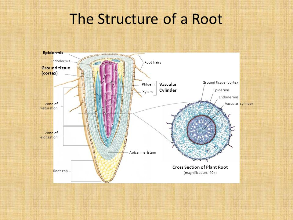 Epidermis Ground tissue (cortex) Vascular Cylinder Cross Section of Plant Root (magnification: 40x) Ground tissue (cortex) Epidermis Endodermis Vascular cylinder Root hairs Phloem Xylem Apical meristem Root cap Zone of maturation Zone of elongation Endodermis The Structure of a Root