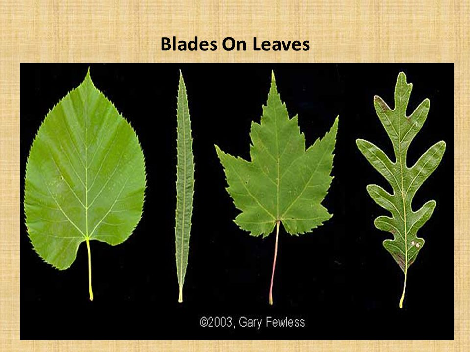 Blades On Leaves