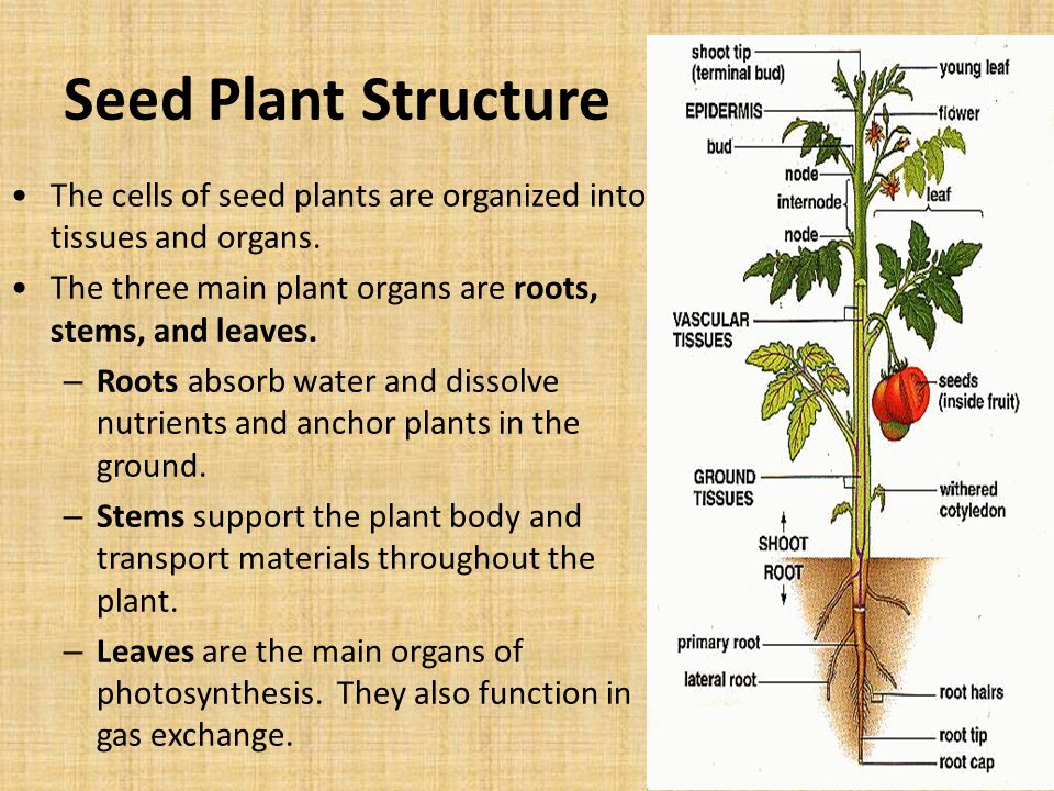 Seed Plant Structure The cells of seed plants are organized into tissues and organs.