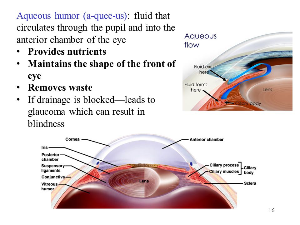 16 Aqueous humor (a-quee-us): fluid that circulates through the pupil and into the anterior chamber of the eye Provides nutrients Maintains the shape