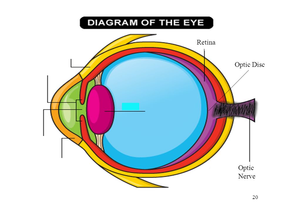 20 Retina Optic Nerve Optic Disc