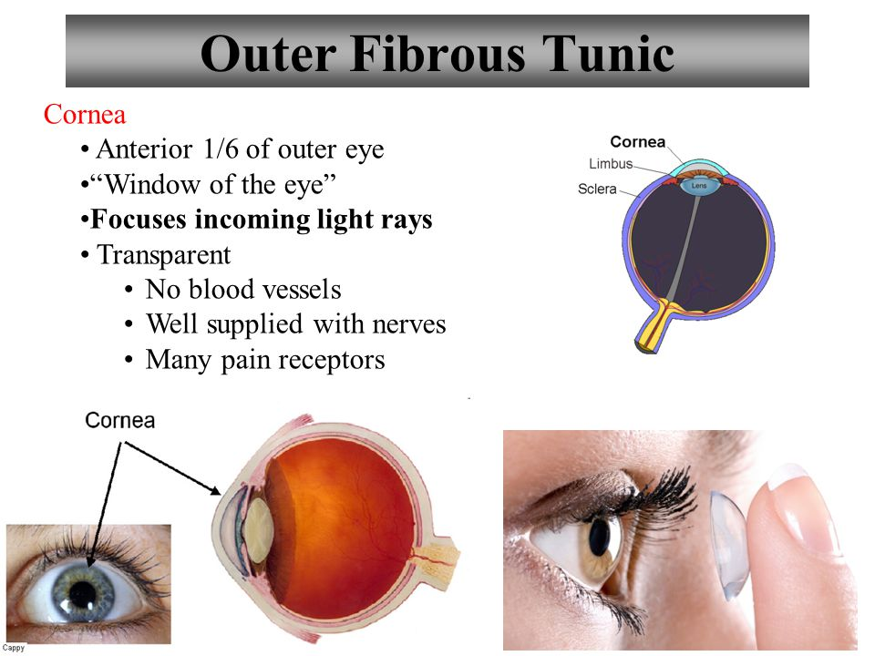 "6 Outer Fibrous Tunic Cornea Anterior 1/6 of outer eye ""Window of the eye"" Focuses incoming light rays Transparent No blood vessels Well supplied with"