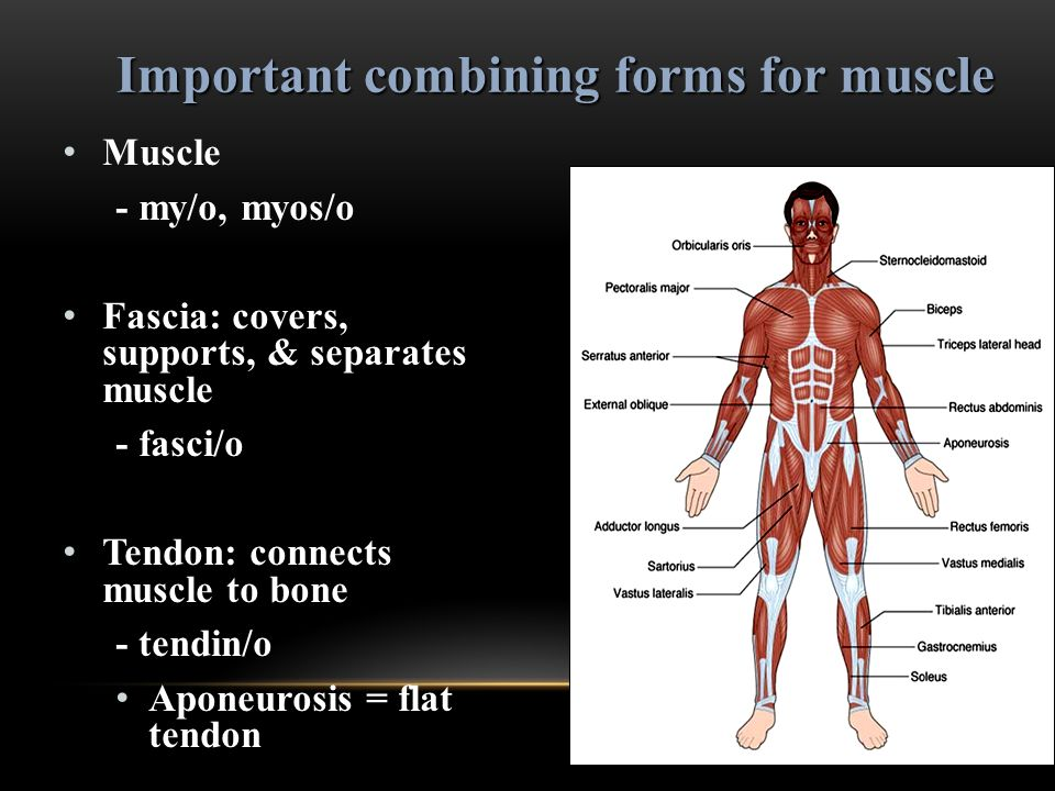 Muscle - my/o, myos/o Fascia: covers, supports, & separates muscle - fasci/o Tendon: connects muscle to bone - tendin/o Aponeurosis = flat tendon Impo