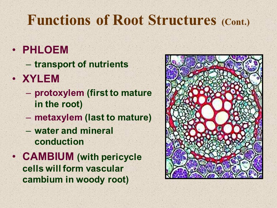 Functions of Root Structures (Cont.) PHLOEM –transport of nutrients XYLEM –protoxylem (first to mature in the root) –metaxylem (last to mature) –water and mineral conduction CAMBIUM (with pericycle cells will form vascular cambium in woody root)