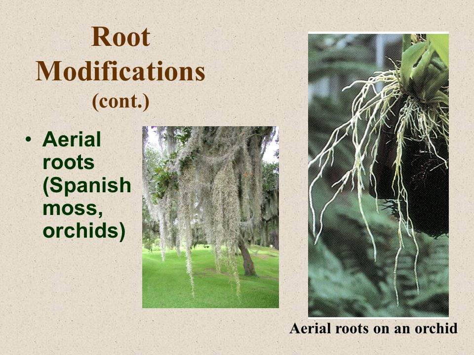 Root Modifications (cont.) Aerial roots (Spanish moss, orchids) Aerial roots on an orchid