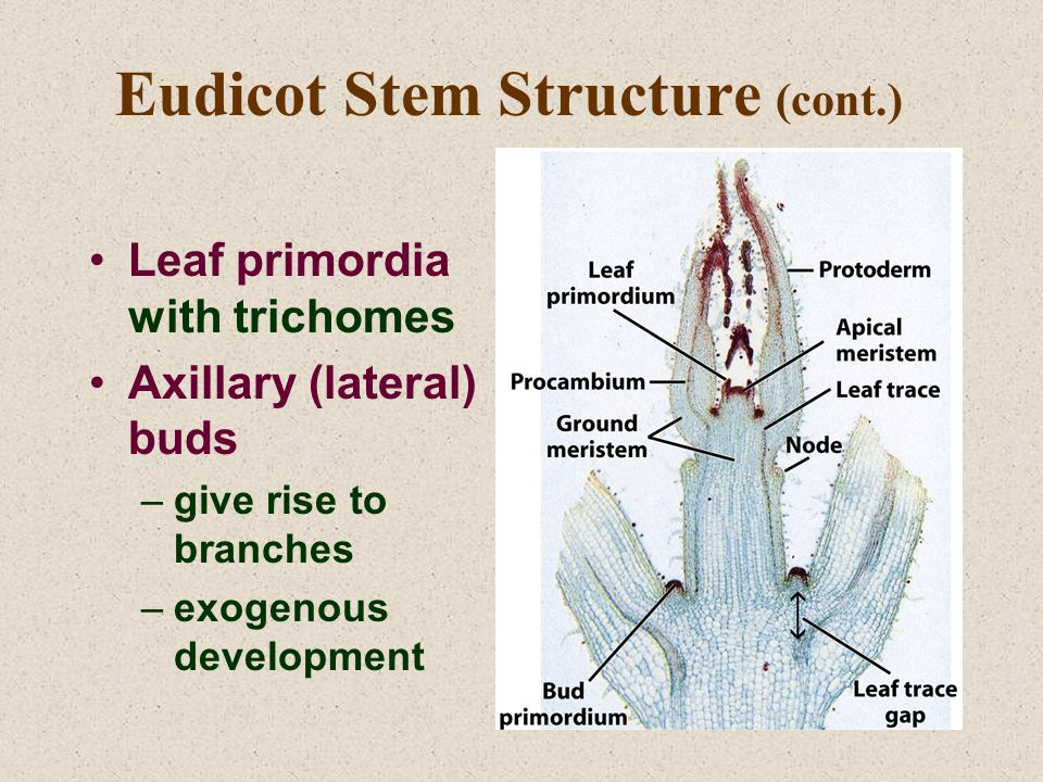 Eudicot Stem Structure (cont.) Leaf primordia with trichomes Axillary (lateral) buds –give rise to branches –exogenous development