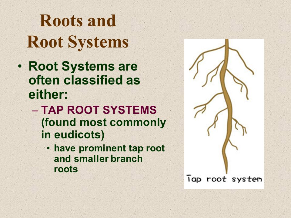 Roots and Root Systems Root Systems are often classified as either: –TAP ROOT SYSTEMS (found most commonly in eudicots) have prominent tap root and sm