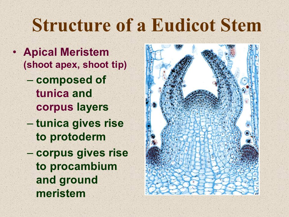 Structure of a Eudicot Stem Apical Meristem (shoot apex, shoot tip) –composed of tunica and corpus layers –tunica gives rise to protoderm –corpus gives rise to procambium and ground meristem