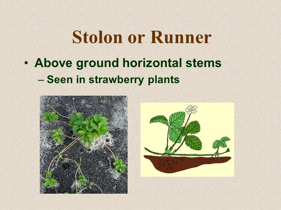 Stolon or Runner Above ground horizontal stems –Seen in strawberry plants