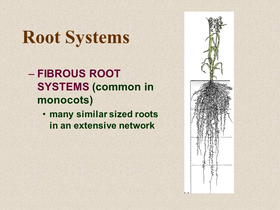 Root Systems –FIBROUS ROOT SYSTEMS (common in monocots) many similar sized roots in an extensive network