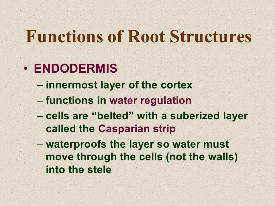 "Functions of Root Structures ENDODERMIS –innermost layer of the cortex –functions in water regulation –cells are ""belted"" with a suberized layer calle"