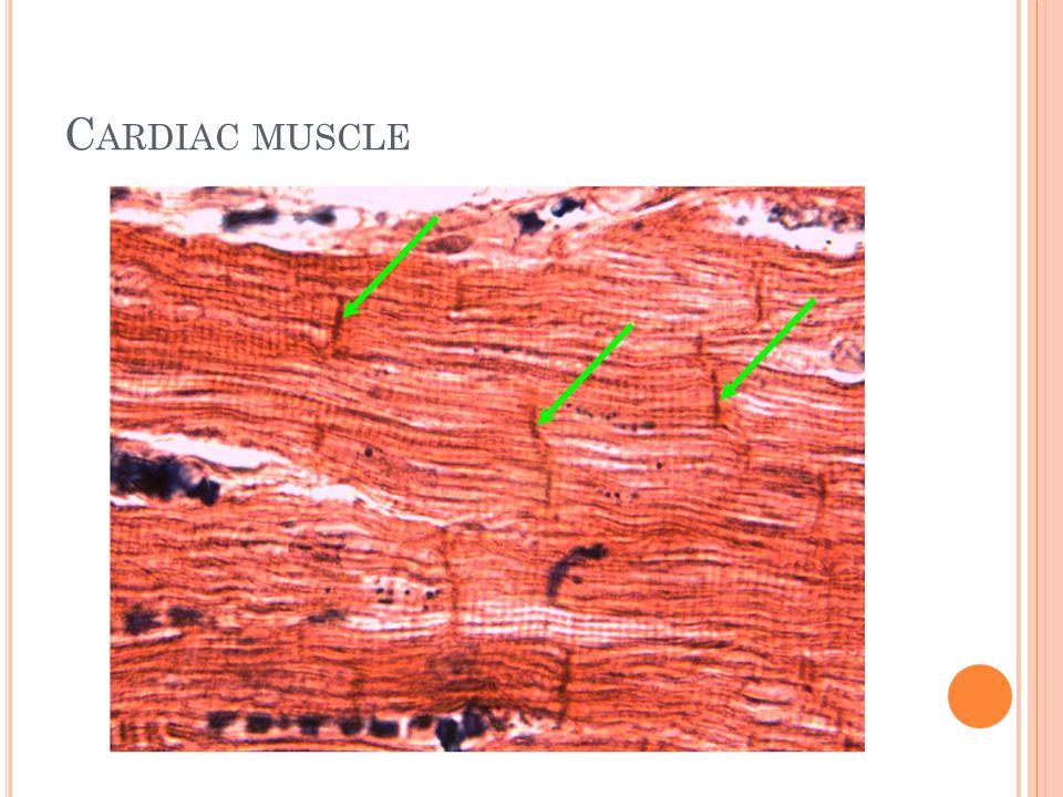 C ARDIAC MUSCLE