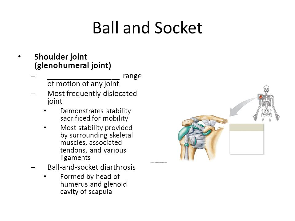 Ball and Socket Shoulder joint (glenohumeral joint) – __________________ range of motion of any joint – Most frequently dislocated joint Demonstrates