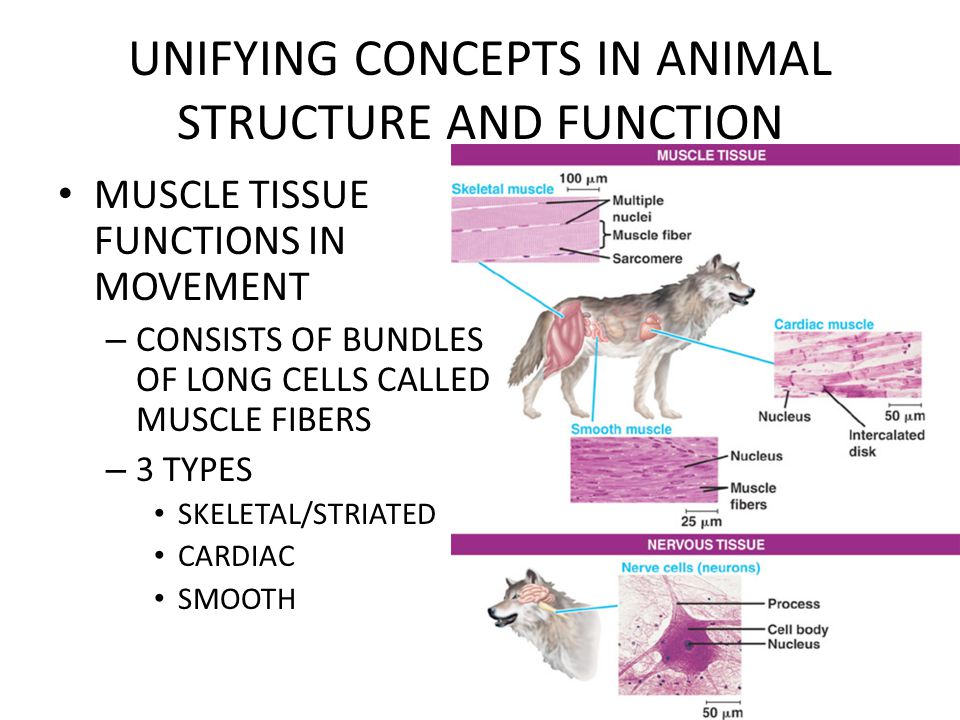 UNIFYING CONCEPTS IN ANIMAL STRUCTURE AND FUNCTION MUSCLE TISSUE FUNCTIONS IN MOVEMENT – CONSISTS OF BUNDLES OF LONG CELLS CALLED MUSCLE FIBERS – 3 TY