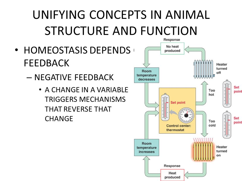 UNIFYING CONCEPTS IN ANIMAL STRUCTURE AND FUNCTION HOMEOSTASIS DEPENDS ON NEGATIVE FEEDBACK – NEGATIVE FEEDBACK A CHANGE IN A VARIABLE TRIGGERS MECHAN