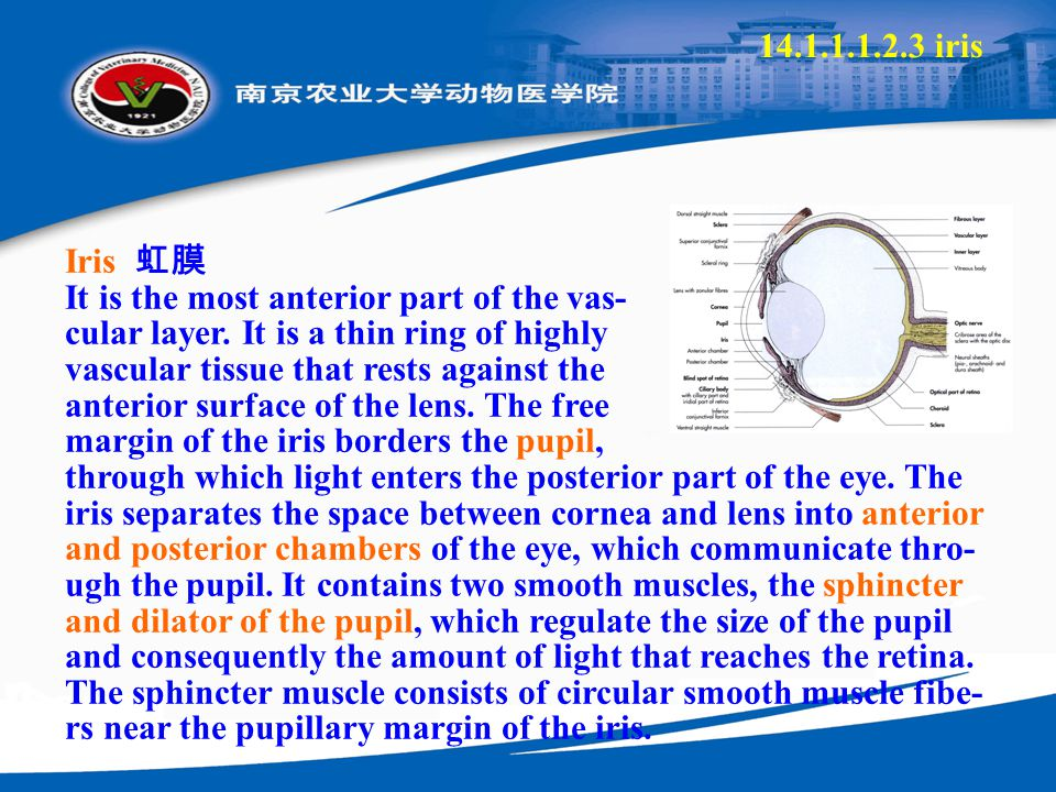 14.1.1.1.2.3 iris Iris 虹膜 It is the most anterior part of the vas- cular layer. It is a thin ring of highly vascular tissue that rests against the ant
