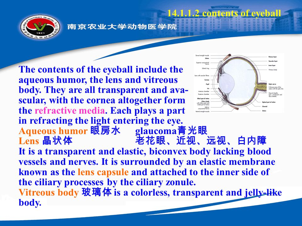 14.1.1.2 contents of eyeball The contents of the eyeball include the aqueous humor, the lens and vitreous body. They are all transparent and ava- scul