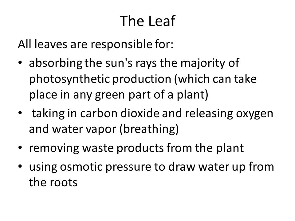 The Leaf All leaves are responsible for: absorbing the sun s rays the majority of photosynthetic production (which can take place in any green part of a plant) taking in carbon dioxide and releasing oxygen and water vapor (breathing) removing waste products from the plant using osmotic pressure to draw water up from the roots