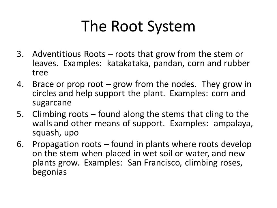 The Root System 3.Adventitious Roots – roots that grow from the stem or leaves.