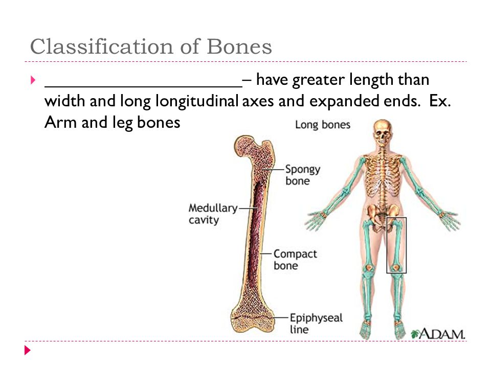 Classification of Bones  – have greater length than width and long longitudinal axes and expanded ends. Ex. Arm and leg bones