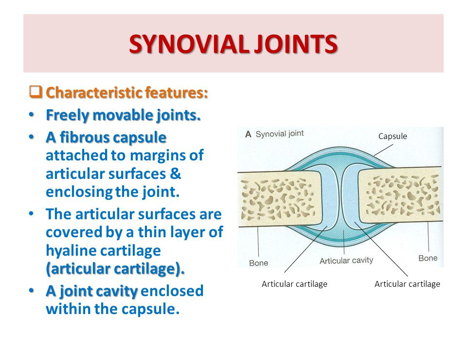 STABILITY OF SYNOVIAL JOINTS  The tone of the surrounding muscles: major factor In most joints, it is the major factor controlling stability.
