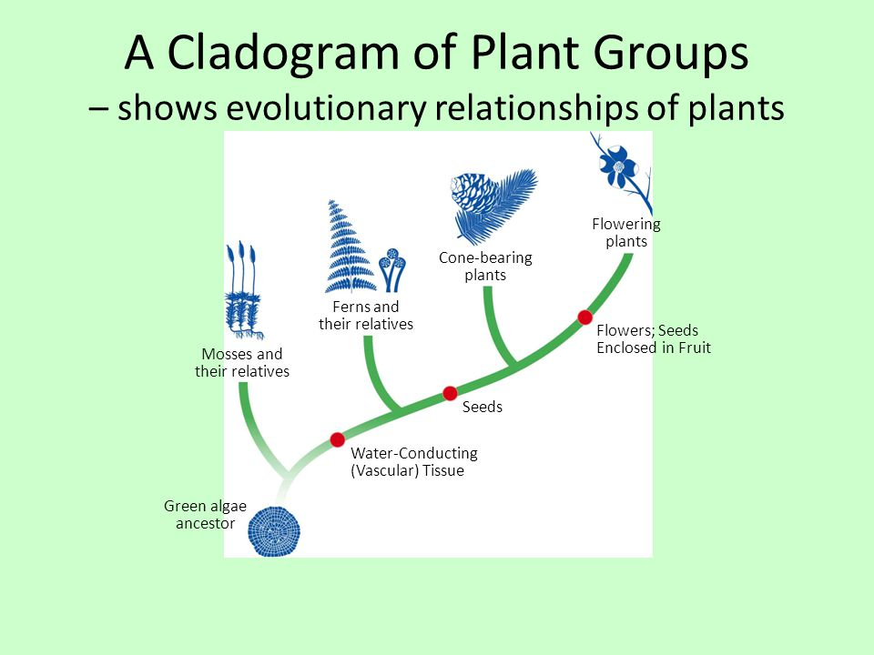 A Cladogram of Plant Groups – shows evolutionary relationships of plants Flowering plants Cone-bearing plants Ferns and their relatives Mosses and the