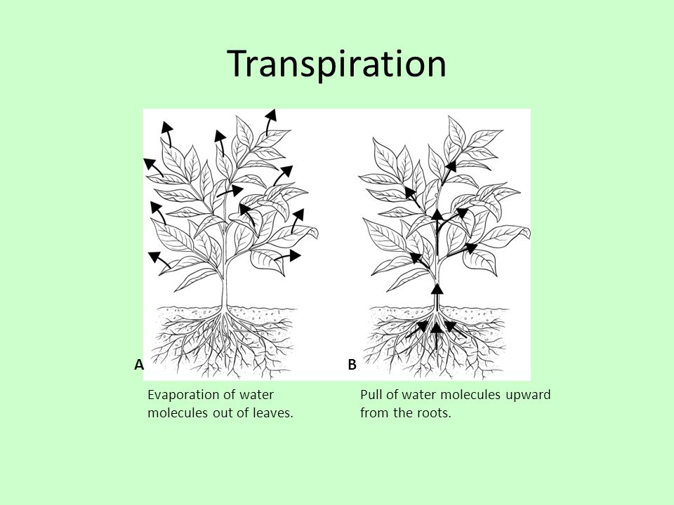Transpiration Evaporation of water molecules out of leaves. Pull of water molecules upward from the roots. AB