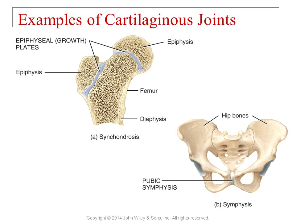 Examples of Cartilaginous Joints Copyright © 2014 John Wiley & Sons, Inc. All rights reserved.