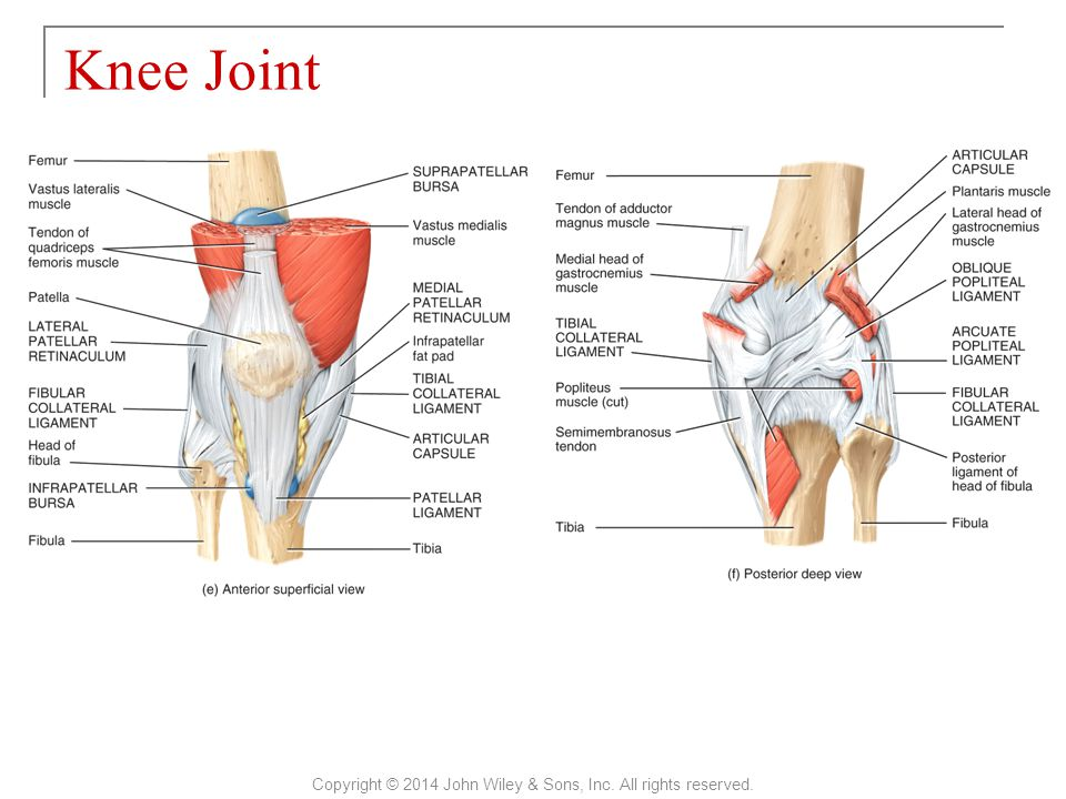 Knee Joint Copyright © 2014 John Wiley & Sons, Inc. All rights reserved.