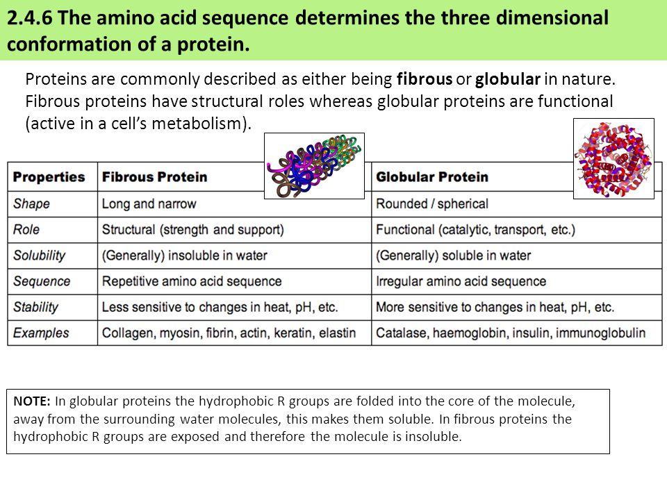 Proteins are commonly described as either being fibrous or globular in nature.