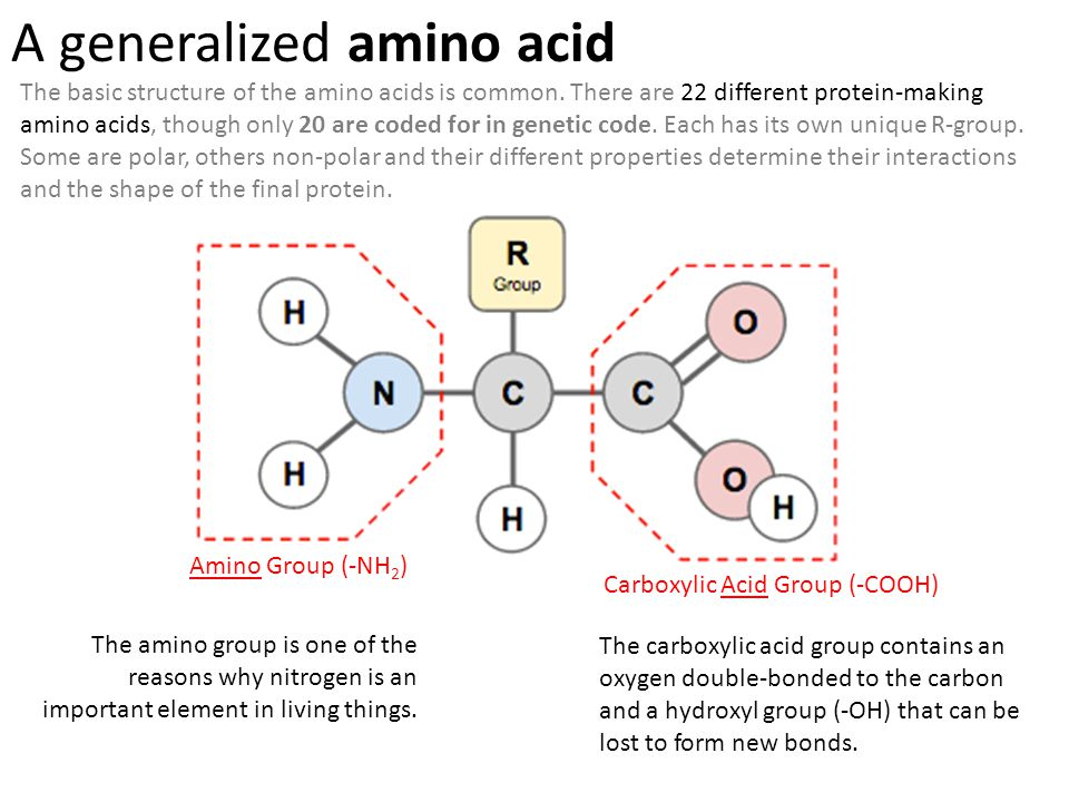 Amino Group (-NH 2 ) Carboxylic Acid Group (-COOH) A generalized amino acid The amino group is one of the reasons why nitrogen is an important element in living things.