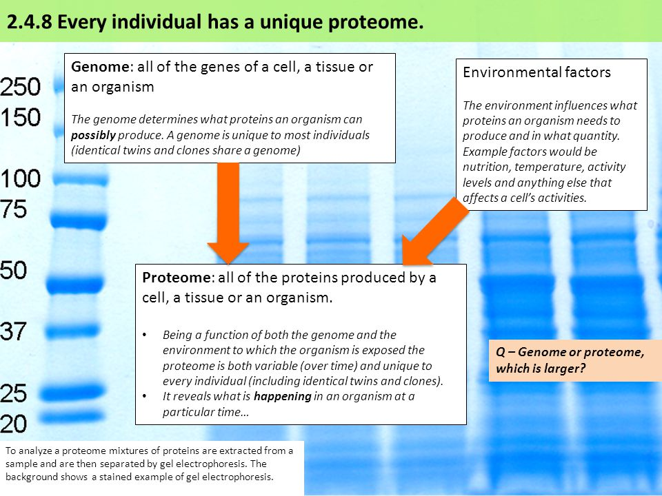 To analyze a proteome mixtures of proteins are extracted from a sample and are then separated by gel electrophoresis.