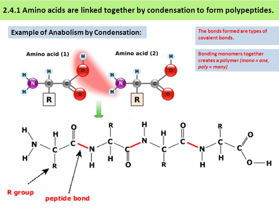 2.4.1 Amino acids are linked together by condensation to form polypeptides.
