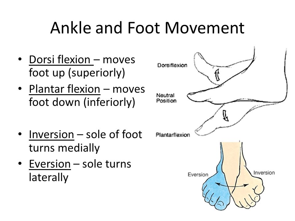Ankle and Foot Movement Dorsi flexion – moves foot up (superiorly) Plantar flexion – moves foot down (inferiorly) Inversion – sole of foot turns media