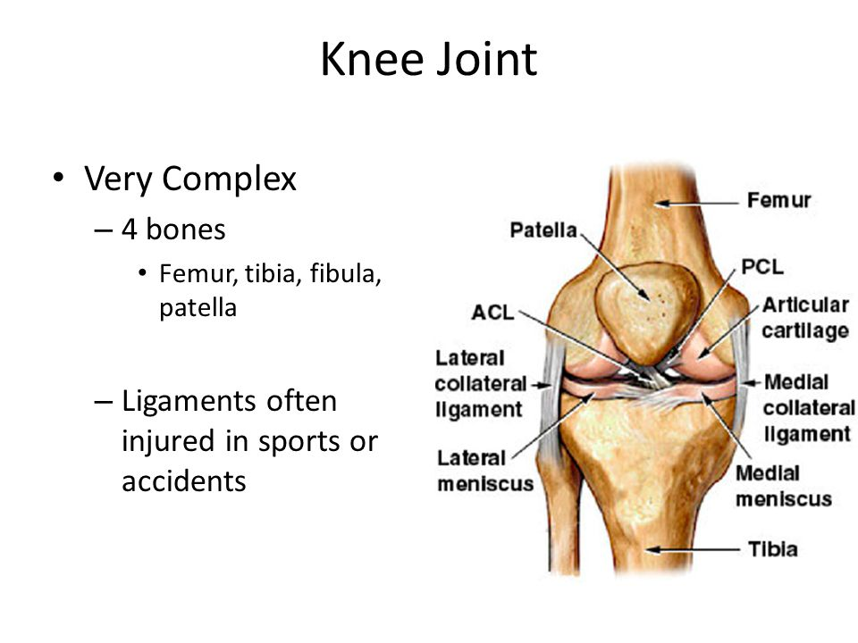 Knee Joint Very Complex – 4 bones Femur, tibia, fibula, patella – Ligaments often injured in sports or accidents