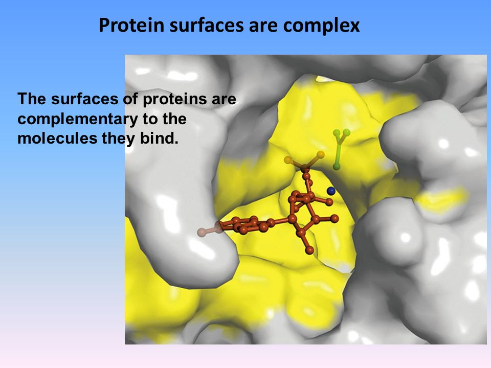 Protein surfaces are complex The surfaces of proteins are complementary to the molecules they bind.