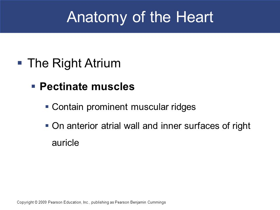 Copyright © 2009 Pearson Education, Inc., publishing as Pearson Benjamin Cummings Anatomy of the Heart  The Right Atrium  Pectinate muscles  Contai