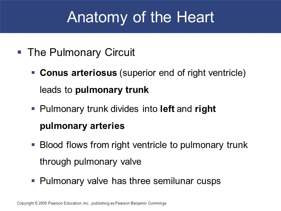 Copyright © 2009 Pearson Education, Inc., publishing as Pearson Benjamin Cummings Anatomy of the Heart  The Pulmonary Circuit  Conus arteriosus (superior end of right ventricle) leads to pulmonary trunk  Pulmonary trunk divides into left and right pulmonary arteries  Blood flows from right ventricle to pulmonary trunk through pulmonary valve  Pulmonary valve has three semilunar cusps