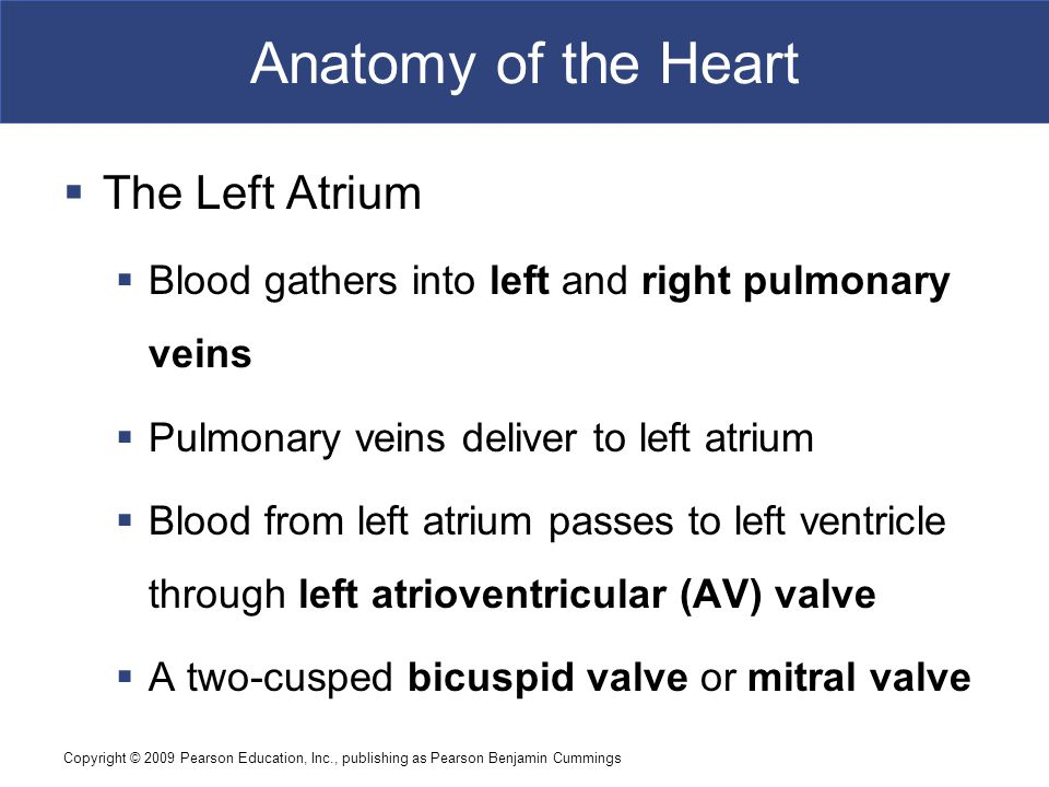 Copyright © 2009 Pearson Education, Inc., publishing as Pearson Benjamin Cummings Anatomy of the Heart  The Left Atrium  Blood gathers into left and