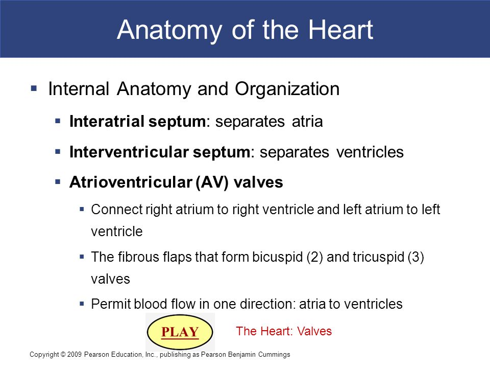 Copyright © 2009 Pearson Education, Inc., publishing as Pearson Benjamin Cummings Anatomy of the Heart  Internal Anatomy and Organization  Interatri