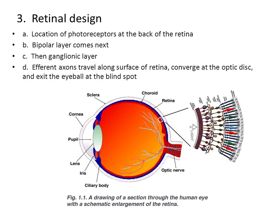 3.Retinal design a. Location of photoreceptors at the back of the retina b.
