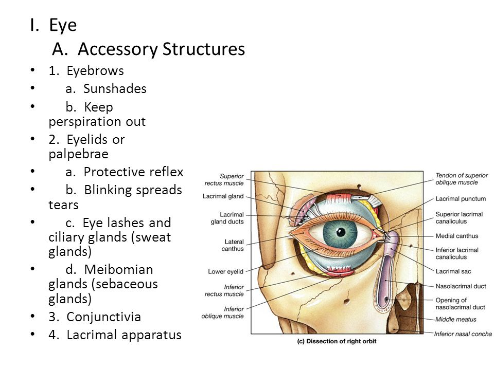 I.Eye A. Accessory Structures 1. Eyebrows a. Sunshades b.