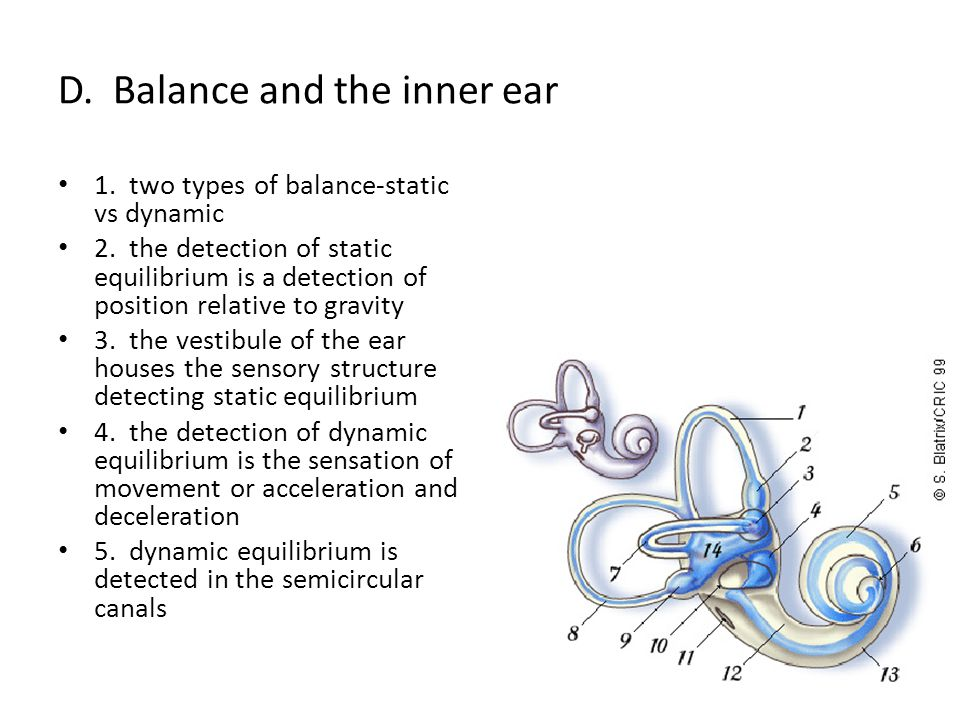 D.Balance and the inner ear 1. two types of balance-static vs dynamic 2.