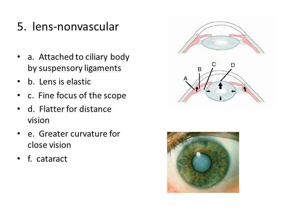 5.lens-nonvascular a. Attached to ciliary body by suspensory ligaments b.