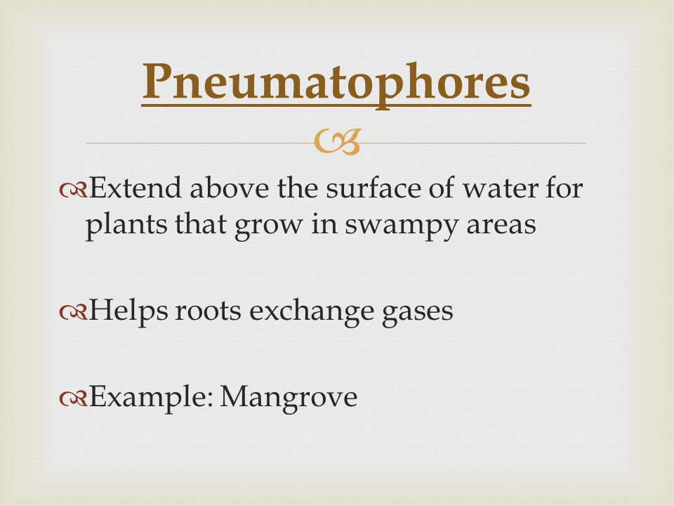   Extend above the surface of water for plants that grow in swampy areas  Helps roots exchange gases  Example: Mangrove Pneumatophores