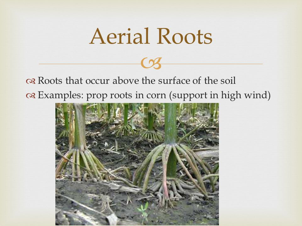  Roots that occur above the surface of the soil  Examples: prop roots in corn (support in high wind) Aerial Roots
